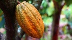 semilla de cacao